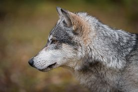 Grey Wolf (canis Lupus) Straight Left Profile Autumn