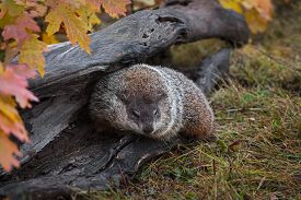 Woodchuck (marmota Monax) Turns In Log Autumn - Captive Animal