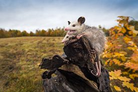 Opossum Joeys (didelphimorphia) Open Mouth At End Of Log Autumn - Captive Animals