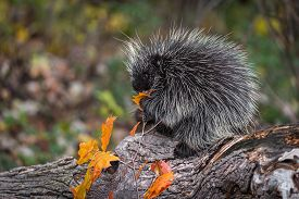 Porcupine (erethizon Dorsatum) Nibbles On Leaf On Log Autumn - Captive Animal