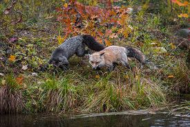 Amber Phase And Silver Fox (vulpes Vulpes) At Edge Of Island Autumn - Captive Animals