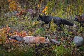 Skulk Of Fox (vulpes Vulpes) Roam About Autumn - Captive Animals