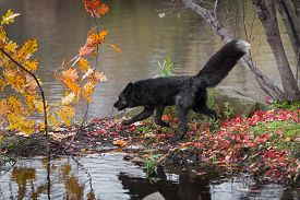 Silver Fox (vulpes Vulpes) Trots Left On Island Autumn - Captive Animal