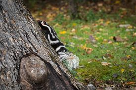 Eastern Spotted Skunk (spilogale Putorius) Rapidly Climbs Up Tree Autumn - Captive Animal