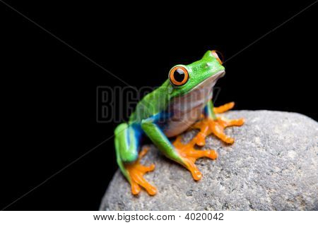 Frog On A Rock Isolated
