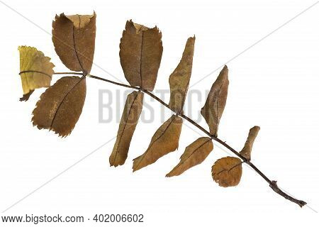 Dry Branch With Autumn Rosehip Leaves, Close-up, White Background.