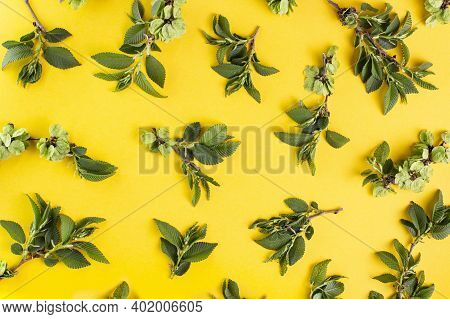 Young Green Branches Of An Elm Tree On A Yellow Background, Spring Pattern.
