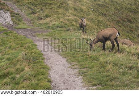 Group Of Tatra Chamois, Rupicapra Rupicapra Tatrica Grazing Standing On A Footpath At Summer Mountai