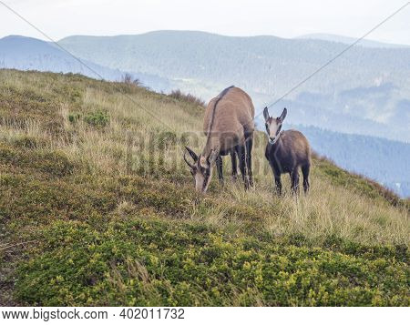 Close Up Adult And Young Tatra Chamois, Rupicapra Rupicapra Tatrica Standing On A Summer Mountain Me