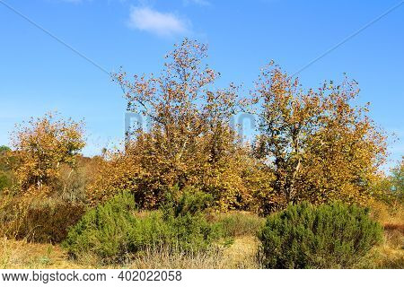 Sycamore Tree Leaves Changing Colors During Autumn Surrounded By Chaparral Plants Taken On A Rural F