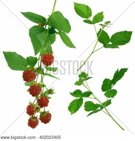 Raspberries. Raspberry With Copy Space For Text. Raspberries Isolation. Set Of Raspberries From Diff