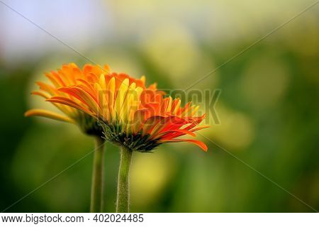 Two Orange Yellow Colored Gerbera Flowers Also Known As Gerbera Daisies On Green Blurry Background.