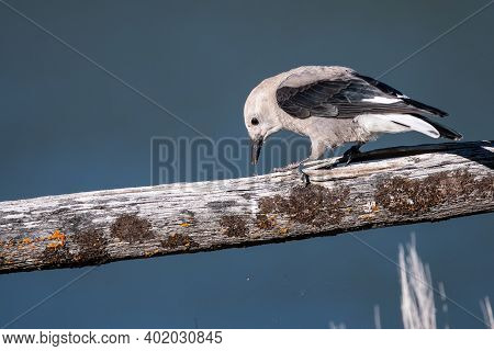 Clark's Nutcracker Perched On A Weathered Wooden Fence