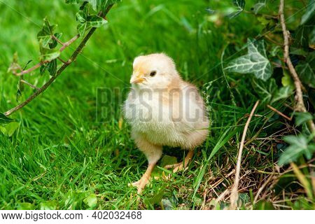 Chicken In The Grass. Yellow Baby Chick On Meadow