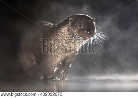 European Otter (lutra Lutra) In Shallow Water At Night In Kiskunsagi National Park, Pusztaszer, Hung