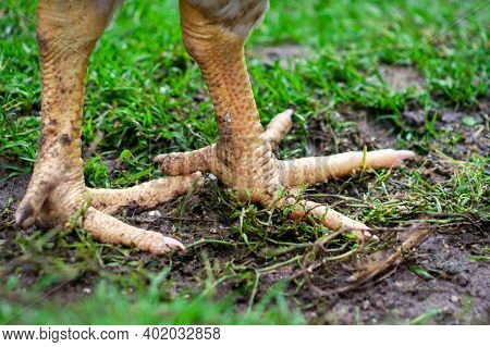 Animal Bird Legs. Closeup Photo Of Claw. Rooster Or Chicken Leg