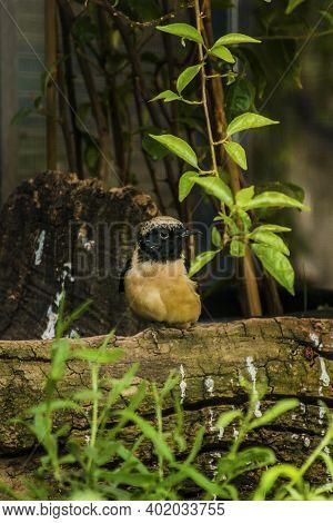 Daurian Redstart (phoenicurus Auroreus) Beautiful Passerine Bird With Orange Belly And Silver Head S