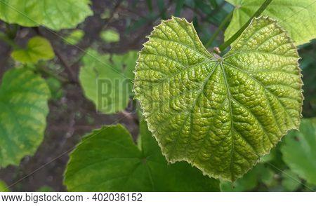 Young vine leaf in garden. Grape leaf background. Botanical plant