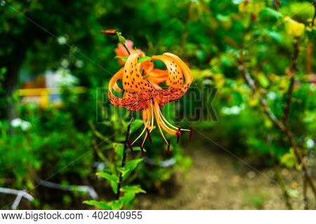 Orange Spotted Lily (tiger Lily) With Green Flower Buds In The Garden On A Sunny Day..