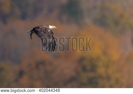 Bald Eagle With A Fish In Its Talons Over The Susquehanna River