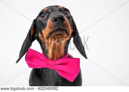 Portrait Of Cute Obedient Dachshund Puppy With Pink Festive Bow Tie Around Neck Looking Up In Antici