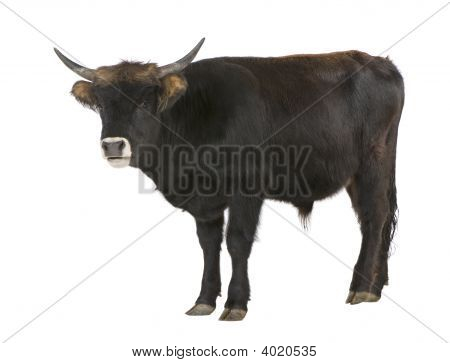 Heck Cattle Auroch