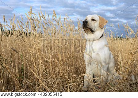 Labrador Dog Portrait In Wheat Field On Natural Background And Blue Sky.