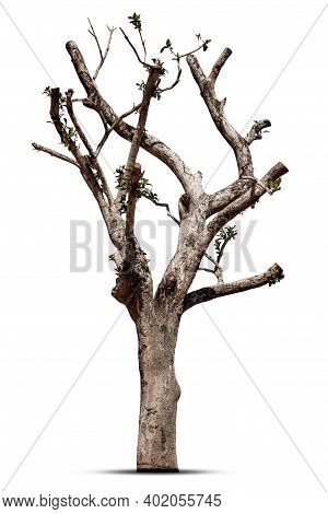 Dead Tree, Trunk, Isolated On White Background,asian