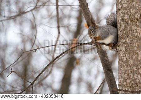 Eurasian Red Squirrel Eating A Nut While Sitting On A Branch In The Winter Forest