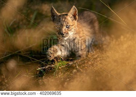 Lynx Cub From The Front Walking In The Yellow Grass. Small Baby Animal In Natural Behaviour. Lynx Ly