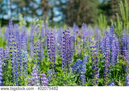 The Field Of Wild Multicolored Lupinus Flowers.violet Purple Lupin In Meadow. Colorful Bunch Of Summ