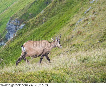 Close Up Tatra Chamois, Rupicapra Rupicapra Tatrica Standing On A Summer Mountain Meadow In Low Tatr