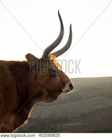 Side View Of Cachena Cattle Cow Bull Barrosa Bos Taurus Farm Animal Breed Domestic Long Horn Race No