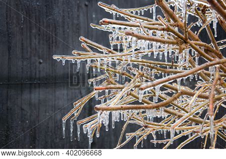 Tree With Leafless Branches Covered With Ice After Icy Rain. Quality Image For Your Project