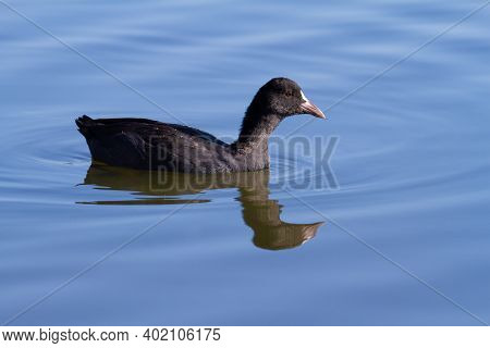 Eurasian Coot, Fulica Atra. The Bird Floats On The Blue Morning River