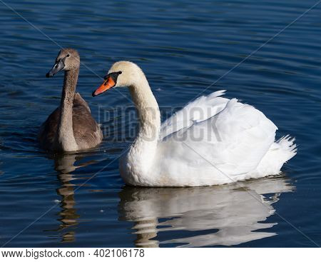 Mute Swan, Cygnus Olor. An Adult Bird And Its Chick Swim On The Morning River