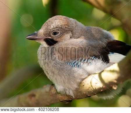 Eurasian Jay, Garrulus Glandarius. Young Bird Sits On A Thick Branch Of A Tree