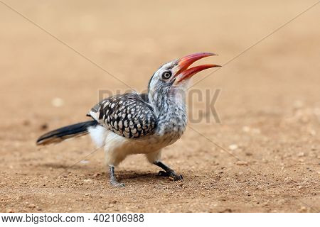 Young Southern Red-billed Hornbill (tockus Rufirostris) Sitting On The Ground With Open Beak.a Bird