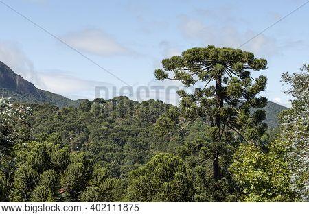 Pinetrees In An Altitude Rainforest At Minas Gerais, Brazil.