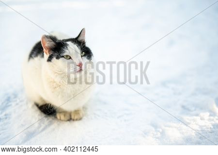 In Winter, A Stray Cat Freezes Outdoor. An Abandoned Animal Sits In The Snow. Portrait Abandoned Cat