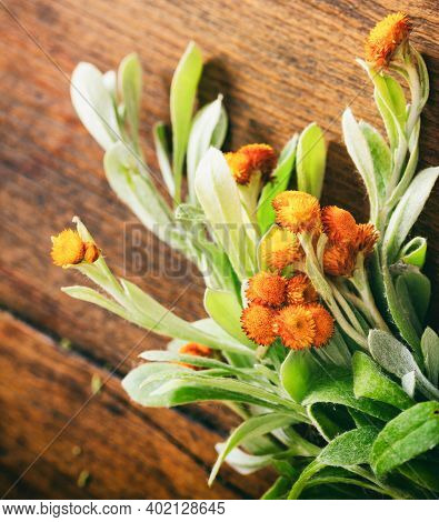 Fresh Helichrysum Leaves And Blossoms On Wooden Background