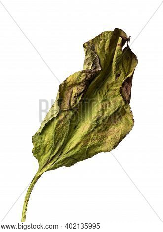 Isolated Petal On A White Background Dry Flower With Crumpled Parts Of Dry Leaves And Petals With A