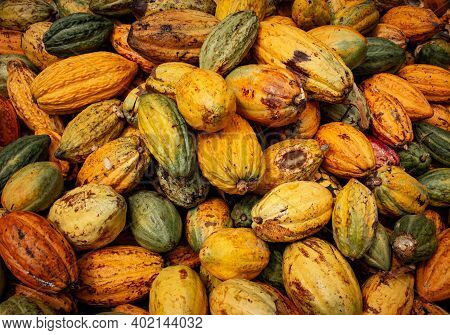 View Of Harvested Cacao Fruits In A Heap. Yellow Color Cocoa Fruit (also Known As Theobroma Cacao)