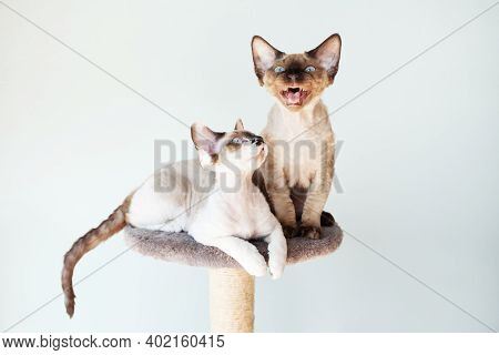 Devon Rex Kittens Are Sitting On The Scratching Furniture For Cats. Two Kittens Are Better Than One.