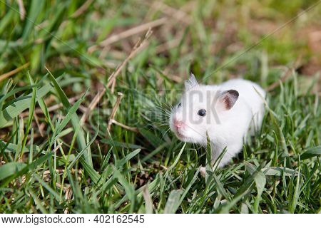 Hamster In The Grass. Tamed Hamster On A Walk.