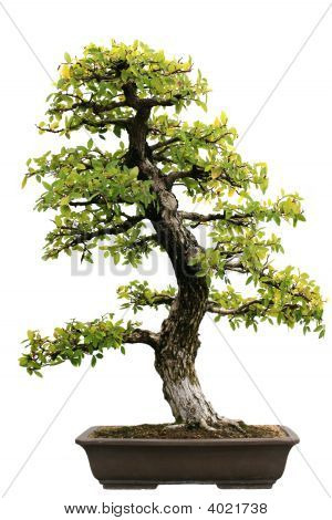 Japanese Evergreen Bonsai At Isolated