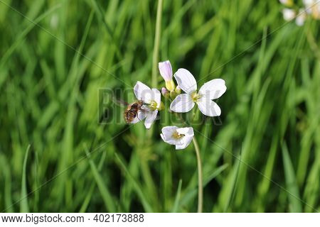 Ladies Smock, Cardamine Pratensis, Pink Flowers With A Bee Fly, Bombylius Major, Hovering And Feedin