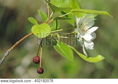 Sprig Of Apple Tree With Blooming White Flowers And Last Year's Dried Apples