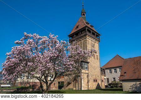 Magnolia Tree Blossom, Geilweilerhof, Institute For Grape Breeding, Siebeldingen, German Wine Road,