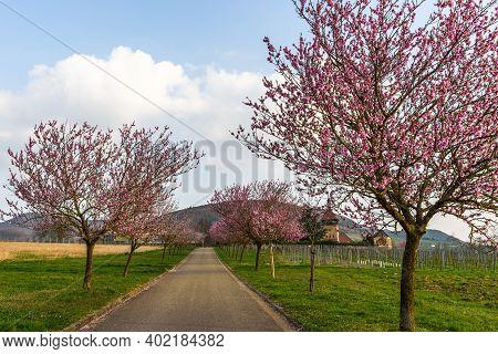 Almond Blossom At Geilweilerhof, Institute For Grape Breeding, Siebeldingen, German Wine Route, Rhin